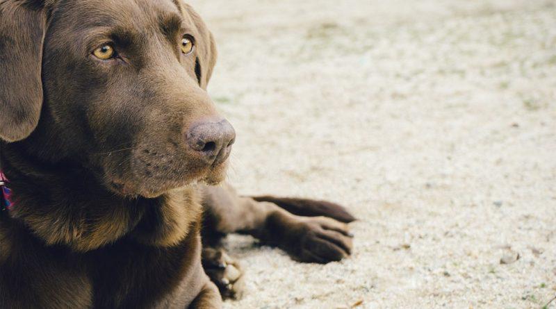 Sanatatea Labradorului