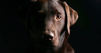Istoria Labradorului Retriever