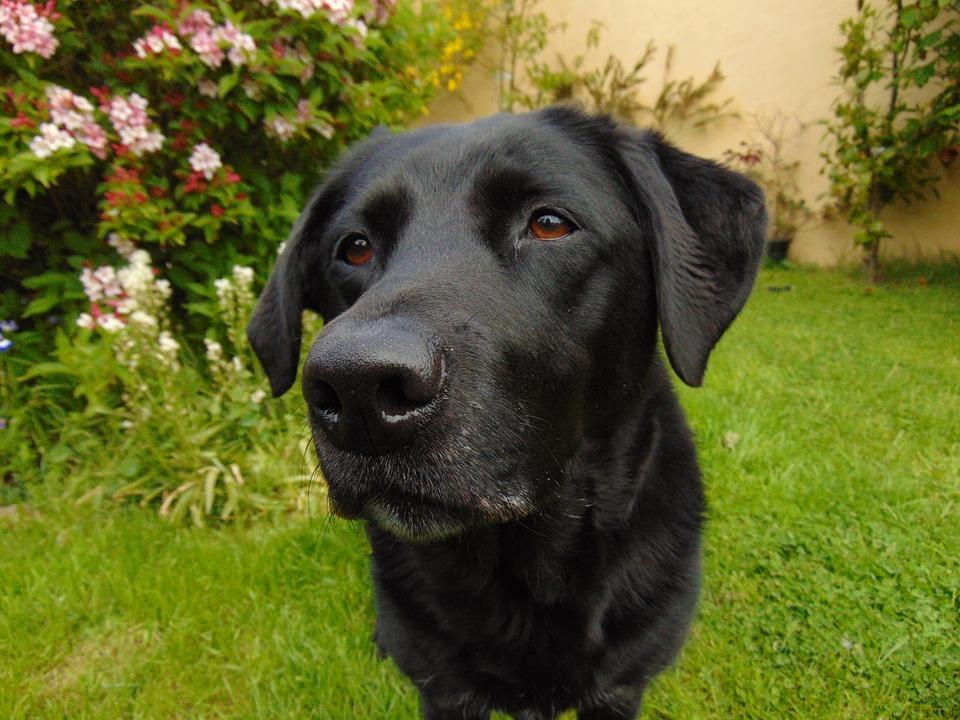 Comportament Labrador