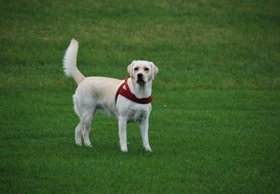 Stagii De Dresaj Pentru Un Labrador De Succes