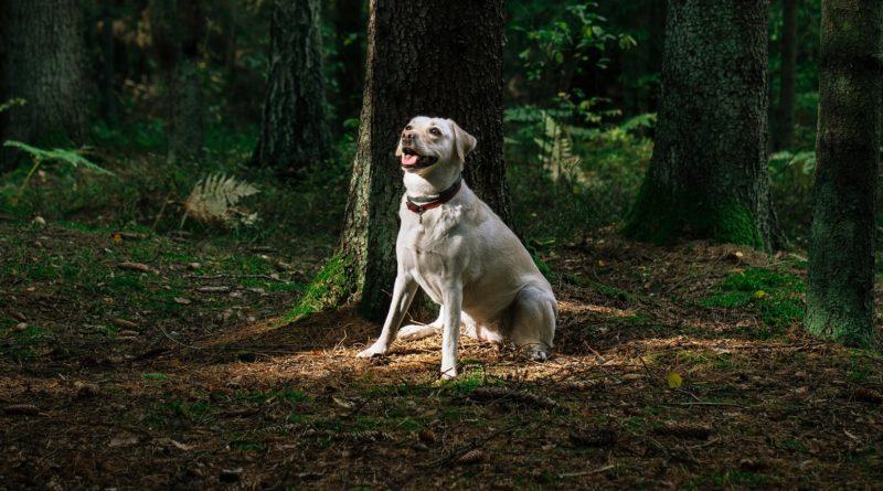 Cainele simte emotiile oamenilor - Labrador Nikos - Comportamentul si starea de sanatate a labradorului in functie de emotiile din atmosfera-min